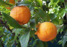 Oranger amer, Bigaradier