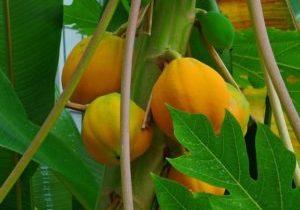 Papayer, Melon des tropiques